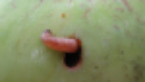 APPLE CODLING MOTH