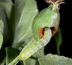 GREEN FRUIT WORMS