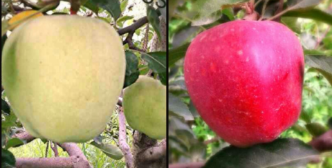 COLOUR DEVELOPMEMT OF APPLES