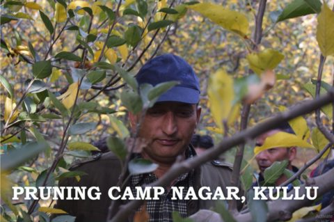 Mr. Pankaj Negi's Pruning Session at Nagar, Kullu