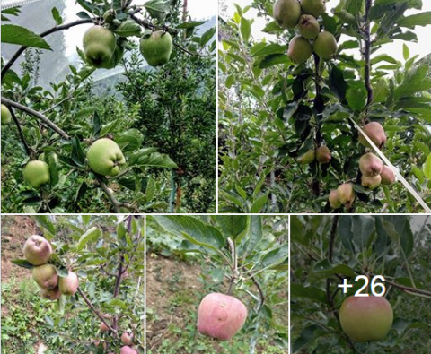 View | 35 Apple Varieties at R.B.O. DHRONK