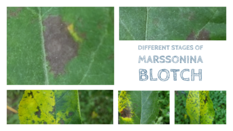 Different Stages of Marssonina Blotch