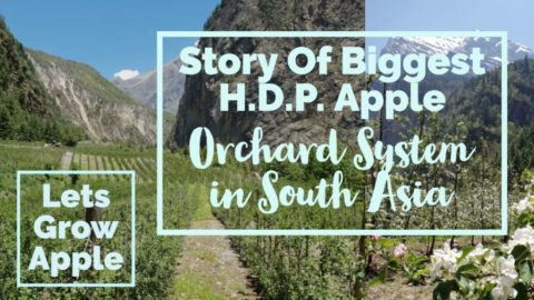 Watch | Story Of Biggest H.D.P. Apple Orchard System in south Asia | Lets Grow Apple