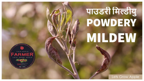 (video) पाउडरी मिल्डीयु ( Powdery Mildew ) | Archive for category: #APPLE_PEST