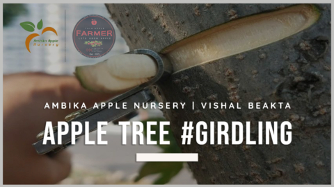 Apple Tree Girdling – Ambika Apple Nursery & Vishal Beakta.