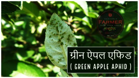 ग्रीन ऐपल एफिड ( Green Apple Aphid )